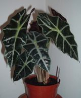 How to Grow Alocasia Houseplants Purple Elephant, Elephant Ears, Indoor Tropical Plants, Leaf Coloring, Plant Pictures, Ornamental Plants, Growing Plants, Plant Leaves, Green Leaves