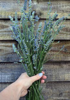 Both English and French Lavender can successfully be propagated from cuttings. That means unlimited free plants! Here's how to do it.