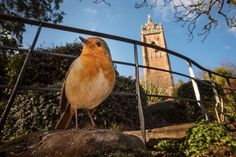 Check Out These Fantastic Photos of Birds in Urban Spaces  European Robin in front of Cabot Tower, Bristol, England. Photo: Sam Hobson