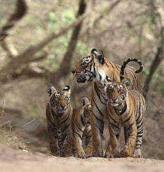 My favorite female tiger, Machli!
