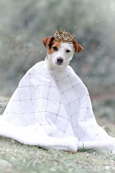 Jack Russell Terrier Snow Queen by Heavenly Pet Photography