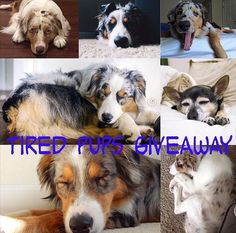 What a way to start March! Thanks to all of you @rikutheaussie has reached 10k followers and we are hosting a giveaway! . I can't express how thankful I am for all of you to follow me on my journey and adventures! With so many adventures to come the theme of this giveaway is tired pups! Post a picture of your tired pups whether it be sleeping laying there yawning or anything related! .  Hosts: @rikutheaussie @arya_the_aussie @aussie.atlas @stitchaussie @sparkythechimix @tori_the_aussie…