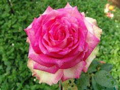 Table Mountain | Ludwigs Roses : 'Table Mountain' bears large, very shapely, high pointed blooms with the most unusual colour combination of green tinted guard petals, basic white & distinct pink edges still touched with green: a winner with florists. The vigorous bush produces flush after flush of impeccable blooms on sturdy stems.