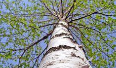Mladé březové listí, lék z jarní přírody - Zdraví