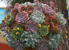 The succulent basket of hen and chicks looks great and is easy care. Requiring little attention, it will even survive drought conditions and occasional watering.