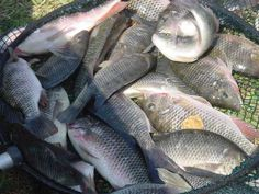#1 How to Start Tilapia Farming   BEST Selling #1 Fish Farm Tank Tilapia Fish Farming, Catfish Farming, Aquaponics Fish, Bonsai Seeds, Tree Seeds, Beekeeping For Dummies, Farmers Only, Seed Germination, Types Of Fish