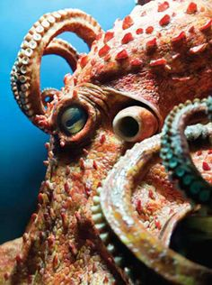 Scary smart. Interesting article about octopus from AVMA