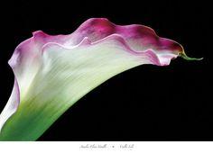 Calla Lily Art Print at AllPosters.com