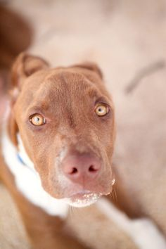 Puppy Photography. What a beautiful Pit bull :-)
