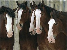 Relive the Magic of Every Budweiser Clydesdale Super Bowl Commercial Since 2002 All The Pretty Horses, Beautiful Horses, Animals Beautiful, Beautiful Things, Big Horses, Horse Love, Funny Horses, Animals And Pets, Cute Animals