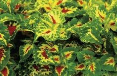 Coleus is a very hearty plant.  It's another plant where you can place clippings in water until they root, or place clippings directly in the soil to make your plant fuller.