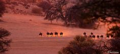 The first arrivals of a huge herd of Blue Wildebeest (Connochaetes taurinus) on their way to the water hole, at the peak of the dry season, Kgalagadi Transfrontier Park, Northern Cape, South Africa.