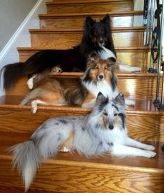 31 Shetland Sheepdog Names [PICTURES If you had a Sheltie what would you name him or her? 31 Shetland Sheepdog Names [PICTURES If you had a Sheltie what would you name him or her? Sheep Dog Puppy, Dog Cat, Sheep Dogs, Cute Dogs And Puppies, I Love Dogs, Doggies, Aussie Puppies, Beautiful Dogs, Animals Beautiful