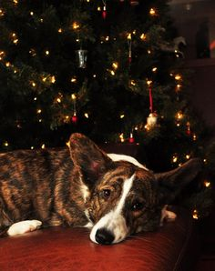 Best Dog Breeds, Best Dogs, Cardigan Welsh Corgi Puppies, Animals And Pets, Boston Terrier, Corgis, Dog Lovers, Dog Cat, Addiction