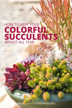 Find why your colorful succulents start to turn green and how to prevent it from happening