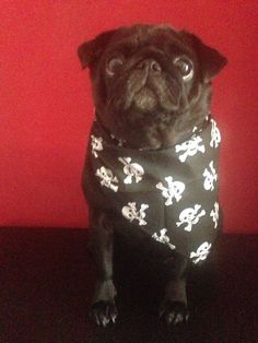 Skull bandana Available at www.illovepugs.co.uk post worldwide