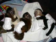 Monkeys in diapers
