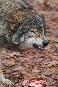 Wolf Spirit, Spirit Animal, Beautiful Creatures, Animals Beautiful, Snarling Wolf, Wolf Hybrid, Angry Wolf, Wolf World, Wolf Love