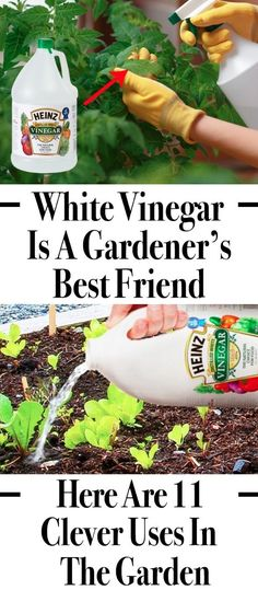 White Vinegar Is a Gardener's Best Friend. Here Are 11 Clever Uses in the Garden Now there are tips and tricks to grow food organically, but the there is no complete solution for the pest problem. Thus expert's recommends the use of vinegar, which acts as Veg Garden, Lawn And Garden, Garden Tools, Vegetable Gardening, Garden Pests, Home And Garden, Vinegar Uses, Tips And Tricks, Organic Gardening Tips