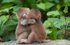 Two baby Japanese Macaques