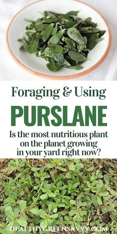 Verdolaga: Purslane Recipes from Around the World! - Purslane is a nutritional powerhouse that may be growing in your yard right now. This superfood is - Nutrition Sportive, Sport Nutrition, Nutrition Quotes, Nutrition Tips, Healthy Nutrition, Healing Herbs, Medicinal Plants, Poisonous Plants, Purslane Recipe