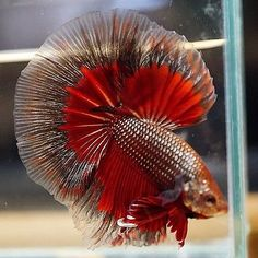 Live Betta Fish Male COPPER RED BUTTERFLY Halfmoon. Well, thank goodness it's not dead. C'ause you sexy.