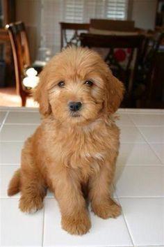 Goldendoodle pup ❤️