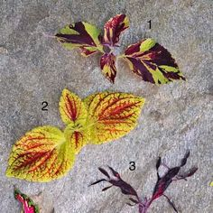 Coleus Plants: Varieties, Care & Growing Them - This Old House Coleus Care, Endless Summer Hydrangea, Deer Photos, White Flower Farm, Yellow Leaves, Dark Places, Potting Soil, Cool Tones, Glass Containers