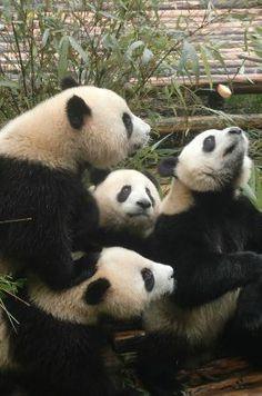 Panda - Picture of Wolong Giant Panda Nature Reserve, Wenchuan County - Tripadvisor Panda Love, Cute Panda, Red Panda, Panda Panda, Animals And Pets, Baby Animals, Cute Animals, Animal 2, Mundo Animal