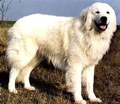 Maremma Sheepdog (Cane da Pastore Maremmano-Abruzzese) big and great defenders but very gentle with their family. They protect sheep from bears and other predators.