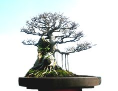 Gorgeous Ficus Retusa - Bonsai Gallery of Rudi Julianto