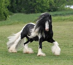 Irish Gypsy horse this horse is absolutely gorgeous, and I know nothing about horses....