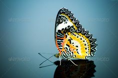 Leopard Lacewing Butterfly. ...  background, beautiful, beauty, biblis, butterfly, cethosia, clipping, closeup, color, colorful, cut, cut out, cutout, die cut, flight, fly, garden, grace, insect, inspiration, isolated, isolated on white background, lace, lacewing, leopard, lepidoptera, loud, natural, nature, nymphalidae, pattern, pretty, red, serenity, silence, stillness, top, tranquility, tropical, white, white background, wing