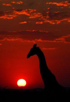 Giraffe Silhouette and Sunset, Etosha National Park, Namibia
