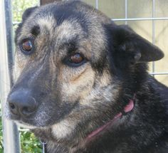 Pearl German Shepherd Dog & Catahoula Leopard Dog Mix • Adult • Female • Large Las Lomas K9 Rescue & Adoption Foundation Floresville, TX  8 yrs old  Born Feb. 12, 2005 http://www.petfinder.com/petdetail/15944181/ http://www.dogsrus.org/bios.htm