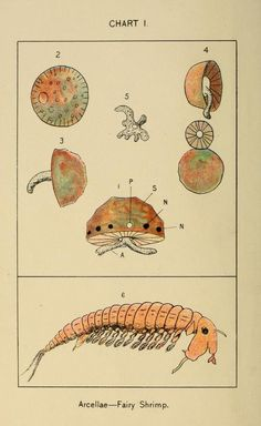 Chart I. Fairy shrimp. In brook and bayou; or, Life in the still waters. 1897.