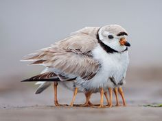 Mother bird protecting her young under her feathers and wings.  So cute, lots of legs!  - Earth Porn