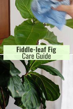 Fig Plant Indoor, Ficus Tree Indoor, Indoor Tropical Plants, Ficus Tree Care, Fig Leaf Tree, Fig Leaves, Plant Leaves, Jade Plant Care, Ficus Lyrata