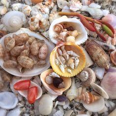 seashells among shell shards.  Sanibel