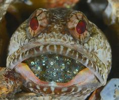 A male banded jawfish shows off his clutch of eggs at the Blue Heron Bridge in Riviera Beach, Fla.