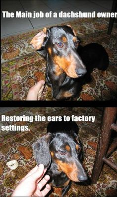 Main Job of Dachshund Owner  It's so funny cuz its so true. If their ears get flipped they just leave them that way!