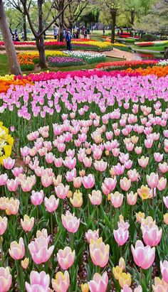 Most Beautiful Gardens, Amazing Gardens, Blooming Flowers, Spring Flowers, Tulip Fields Netherlands, Colorful Flowers, Beautiful Flowers, Royal Garden, Garden Park