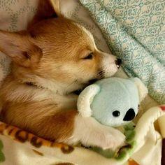 My baby corgi does this every night too! Baby Corgi, Cute Corgi Puppy, Corgi Dog, Cute Dogs And Puppies, Funny Puppies, Corgi Pembroke, Pomeranian Puppy, Lab Puppies, Husky Puppy