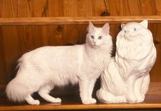 Turkish Angora cat information, pictures.Turkish Angora cats are happy to play, equally happy to relax and not particularly demanding of time. Turkish Angora Cat, Angora Cats, French Angora Rabbit, Flea Shampoo For Cats, Toxic Plants For Cats, Teacup Cats, Cat Site, Warrior Cats Books, Herding Cats