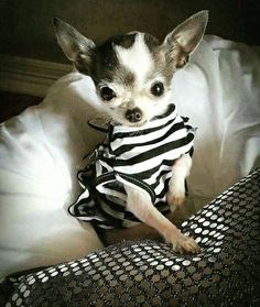 Chihuahua http://fancytemplestore.com                                                                                                                                                      More