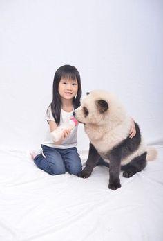 """Un panda pour animal domestique, c'est (presque) possible. Avec leur poil blanc aux taches noires, il est impossible de ne pas avoir la ressemblance de ces chiens avec un panda. Ces """"pandogs"""" sont en réalité des chow-chow au poil blanc dont une partie est teinte en noire aux pattes, autour des yeux et aux oreilles, pour accentuer la ressemblance avec un panda."""