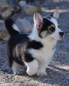 husky and corgi mix - possibly the cutest puppy I've ever seen