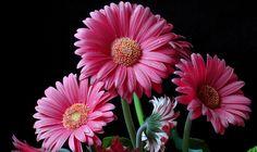 Gerbera Rosada - Flor De Primavera