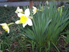 The first daffodils in the herb garden. Spring is here!