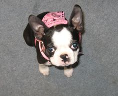Dogs are special, but Boston Terriers are EXTRA special.